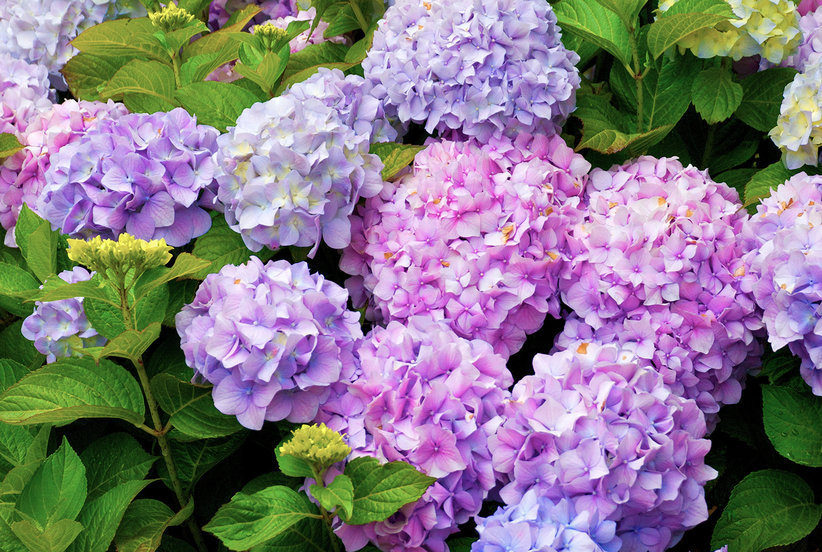 Multi Colored Hydrangea Bush With Blooms